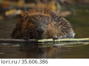 North American beaver (Castor canadensis) feeding on tree bark, Maryland, USA. October. Стоковое фото, фотограф John Cancalosi / Nature Picture Library / Фотобанк Лори