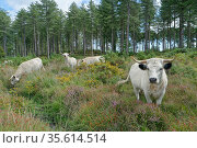 White Park cattle (Bos taurus), an ancient British breed, grazing heathland to prevent scrub encroachment, Rempstone Heath, Dorset, UK, August. Стоковое фото, фотограф Nick Upton / Nature Picture Library / Фотобанк Лори