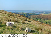 Domestic sheep (Ovis aries) grazing hillside overlooking the River Loughor and the Gower Peninsula, Felindre, Glamorgan, Wales, UK, September. Стоковое фото, фотограф Nick Upton / Nature Picture Library / Фотобанк Лори