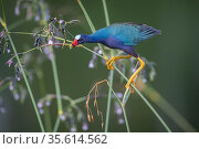 Purple gallinule (Porphyrio martinicus) reaches for Giant bulrush seeds (Schoenoplectis californicus). Wakodahatchee Wetlands, Florida, USA, April. Стоковое фото, фотограф John Shaw / Nature Picture Library / Фотобанк Лори