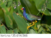 Purple gallinule (Porphyrio martinicus) and Giant bulrush (Schoenoplectis californicus). Wakodahatchee Wetlands, Florida, USA, April. Стоковое фото, фотограф John Shaw / Nature Picture Library / Фотобанк Лори