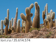Giant Cordon cacti (Echinopsis atacamensis) on Incahuasi Island in Salar de Uyuni salt flats, Bolivia. March. Стоковое фото, фотограф John Shaw / Nature Picture Library / Фотобанк Лори