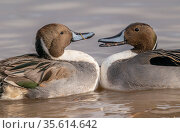 Northern pintail ducks (Anas acuta) males in territorial fight, Bosque del Apache, National Wildlife Refuge, New Mexico, USA. December. Стоковое фото, фотограф Jack Dykinga / Nature Picture Library / Фотобанк Лори
