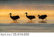 Sandhill cranes (Grus canadensis) wading in water at sunrise. Bosque del Apache National Wildlife Refuge, New Mexico. Стоковое фото, фотограф Jack Dykinga / Nature Picture Library / Фотобанк Лори