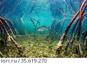 Grey snapper fish (Lutjanus griseus) hunting Silversides (Atherinomorus lacunosus) among red mangrove (Rhizophora mangle) roots, Eleuthera, Bahamas. Стоковое фото, фотограф Shane Gross / Nature Picture Library / Фотобанк Лори