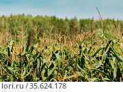 Rural Landscape Maize Field With Corn Sprouts. Young Green Cornfield... Стоковое фото, фотограф Ryhor Bruyeu / easy Fotostock / Фотобанк Лори