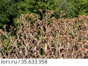 a large bush of dried tartar in late summer. Стоковое фото, фотограф Володина Ольга / Фотобанк Лори