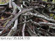Хворост лежит в лесу.. Валежник на дрова. Стоковое фото, фотограф Анатолий Матвейчук / Фотобанк Лори