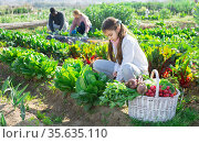 Teenage girl in the vegetable garden loosens the ground under a bush of growing spinach, sitting next to a basket of crops. Стоковое фото, фотограф Яков Филимонов / Фотобанк Лори