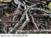 Куча сосновых веток в лесу. Хворост. Стоковое фото, фотограф Анатолий Матвейчук / Фотобанк Лори