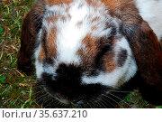 Lieber kleiner brauner hast sitzt im gras im sommer. Стоковое фото, фотограф Zoonar.com/thomas eder / age Fotostock / Фотобанк Лори