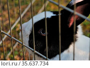 Kleiner lieber schwarz weisser hase hinter gitter. Стоковое фото, фотограф Zoonar.com/thomas eder / age Fotostock / Фотобанк Лори
