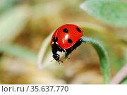 Kleiner rot schwarzer marienkaefer auf einem blatt vor dem absprung... Стоковое фото, фотограф Zoonar.com/thomas eder / age Fotostock / Фотобанк Лори