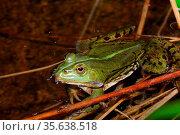 Gruener frosch sitzt im wasser von teich im sommer. Стоковое фото, фотограф Zoonar.com/thomas eder / age Fotostock / Фотобанк Лори