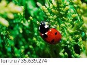 Kleiner rot schwarzer marienkaefer in einer thuje im garten und fruehling. Стоковое фото, фотограф Zoonar.com/thomas eder / age Fotostock / Фотобанк Лори