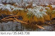 Gras in sumpf im winter mit schnee. Стоковое фото, фотограф Zoonar.com/thomas eder / easy Fotostock / Фотобанк Лори