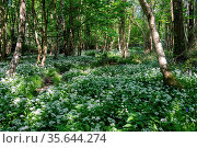 Ramsons or Wild Garlic (Allium ursinum) blooming in springtime near... Стоковое фото, фотограф Zoonar.com/Phil Bird / easy Fotostock / Фотобанк Лори