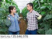 Quarrel of two farmers in the greenhouse during harvest of cucumbers. Стоковое фото, фотограф Яков Филимонов / Фотобанк Лори