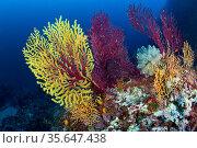 Red sea fan (Paramuricea clavata) with gorgonian corals and Light-bulb sea squirt (Clavelina lepadiformis) Punta Carena, Capri Island, Sorrentine Peninsula, Italy, Tyrrhenian Sea, Mediterranean. Стоковое фото, фотограф Franco Banfi / Nature Picture Library / Фотобанк Лори