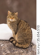 Wild cat (Felis silvestris) sitting on a rock with snow, Cantabrian Mountains, Spain. January. Стоковое фото, фотограф Eduardo Blanco / Nature Picture Library / Фотобанк Лори