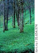 Ramsons, Allium ursinum, Amaryllidaceae, covering forest floor, plant... Стоковое фото, фотограф R. Kunz / age Fotostock / Фотобанк Лори