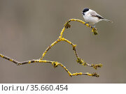 Marsh tit (Parus palustris) perched on branch, Lorraine, France, March. Стоковое фото, фотограф Michel Poinsignon / Nature Picture Library / Фотобанк Лори