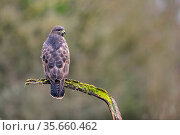 Buzzard (Buteo buteo) perched on a branch in winter, Lorraine, France, January. Стоковое фото, фотограф Michel Poinsignon / Nature Picture Library / Фотобанк Лори
