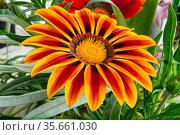 Beautiful multicolor decorative garden flower gatsania. Стоковое фото, фотограф Владимир Ушаров / Фотобанк Лори