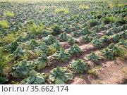 Rows of wilted cabbage after drought in farm field. Стоковое фото, фотограф Яков Филимонов / Фотобанк Лори