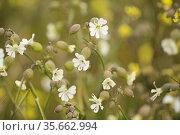 Flora of Gran Canaria - Silene vulgaris, the bladder campion, natural macro floral background. Стоковое фото, фотограф Tamara Kulikova / Фотобанк Лори
