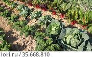 Closeup of organic cabbage and beetroot growing in vegetable farm. Стоковое видео, видеограф Яков Филимонов / Фотобанк Лори
