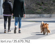 The Womans walking Welsh Corgi cardigan dog. Стоковое фото, фотограф Володина Ольга / Фотобанк Лори