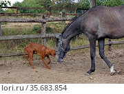 Gestuet Westerberg, dog barking at a curious horse in the paddock. Стоковое фото, агентство Caro Photoagency / Фотобанк Лори