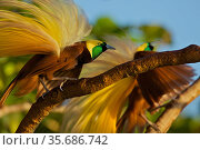 Greater Bird of Paradise (Paradisaea apoda) males performing upright wing pose display, Badigaki Forest, Wokam Island in the Aru Islands, Indonesia. Стоковое фото, фотограф Tim Laman / Nature Picture Library / Фотобанк Лори