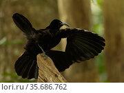 Paradise Riflebird (Ptiloris paradiseus) male performing practice display, Papua New Guinea. Стоковое фото, фотограф Tim Laman / Nature Picture Library / Фотобанк Лори