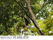 Bornean white-bearded gibbon (Hylobates albibarbis) Gunung Palung National Park, Borneo. Стоковое фото, фотограф Tim  Laman / Nature Picture Library / Фотобанк Лори
