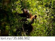 Bornean orangutan (Pongo pygmaeus) male travelling through low trees, Gunung Palung National Park, Borneo. Model released. Стоковое фото, фотограф Tim  Laman / Nature Picture Library / Фотобанк Лори