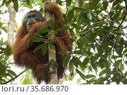 Tapanuli Orangutan (Pongo tapanuliensis).  Togus, adult flanged male  Batang Toru Forest Sumatran Orangutan Conservation Project North Sumatran Province  Indonesia. Стоковое фото, фотограф Tim  Laman / Nature Picture Library / Фотобанк Лори