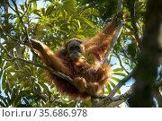 Tapanuli Orangutan (Pongo tapanuliensis) unidentified unflanged adult male, Batang Toru Forest, Sumatran Orangutan Conservation Project North Sumatran Province, Indonesia. Стоковое фото, фотограф Tim  Laman / Nature Picture Library / Фотобанк Лори