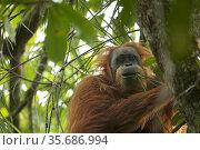 Tapanuli Orangutan (Pongo tapanuliensis) Inda, adult female, feeding on climbing Pandanus. Batang Toru Forest, Sumatran Orangutan Conservation Project, North Sumatran Province,  Indonesia. Стоковое фото, фотограф Tim  Laman / Nature Picture Library / Фотобанк Лори