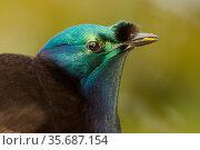 Ribbon tailed Astrapia (Astrapia mayeri) subadult male portrat at feeding platform, Papua New Guinea. Стоковое фото, фотограф Tim Laman / Nature Picture Library / Фотобанк Лори