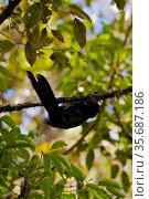 Arfak Astrapia (Astrapia nigra) male practice display in a position suspended below a branch, Papua New Guinea. Стоковое фото, фотограф Tim Laman / Nature Picture Library / Фотобанк Лори