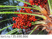 Критская финиковая пальма или финик теофраста. Стоковое фото, фотограф Александр Щепин / Фотобанк Лори