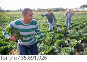 Man stealing cabbage on vegetables farm field. Стоковое фото, фотограф Яков Филимонов / Фотобанк Лори