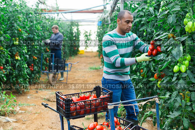 Hispanic grower harvesting crop of red tomatoes in greenhouse