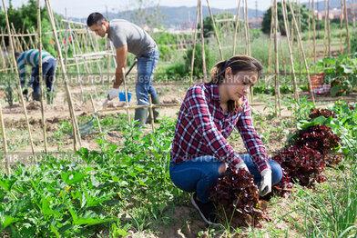Female latino farmer checks the growth of red lettuce