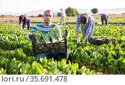 Worker carries plastic box with harvest of chard. Стоковое фото, фотограф Яков Филимонов / Фотобанк Лори