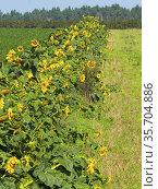 Poland. Sunflowers. Стоковое фото, фотограф Piotr Ciesla / age Fotostock / Фотобанк Лори