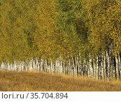 Poland. Podlasie region. Birch grove. Autumn. Стоковое фото, фотограф Piotr Ciesla / age Fotostock / Фотобанк Лори