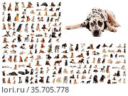 Composite picture with dalmatian purebred dogs in a white background. Стоковое фото, фотограф Zoonar.com/emmanuelle bonzami / age Fotostock / Фотобанк Лори
